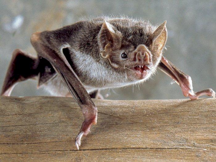 Kelelawar Vampir, Satu-satunya Mamalia Pemakan Darah