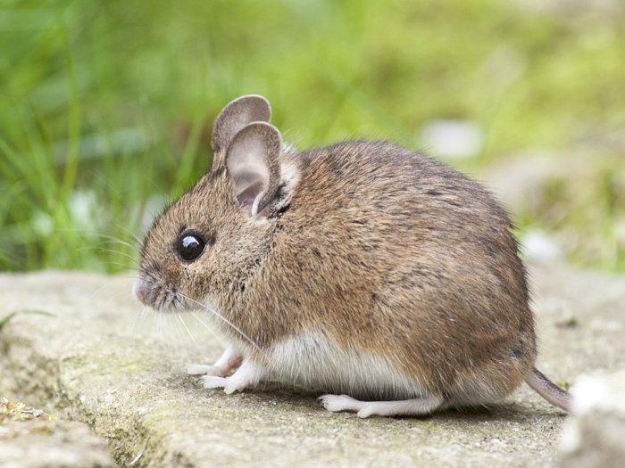 Duh! Dipenuhi Tikus, Pria Ini Tak Bisa Bergerak Setelah Terjatuh ke Gorong-gorong