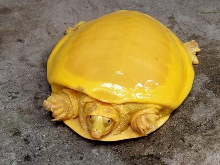 Fenomena Kura-kura Berwarna Kuning Emas, Penyimpangan Langka di Alam