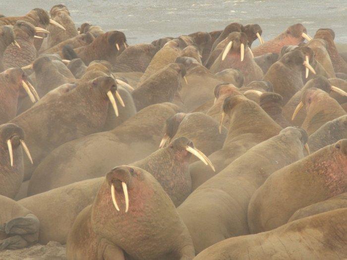 FOTO: Penemuan Kawanan Walrus di Lingkaran Arctic
