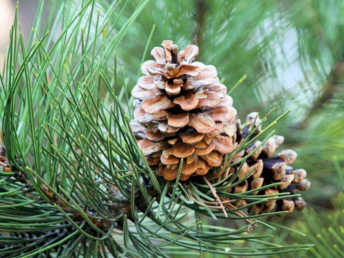 Pohon Pinus yang Bisa Bantu Kamu Bertahan Hidup di Tengah Hutan