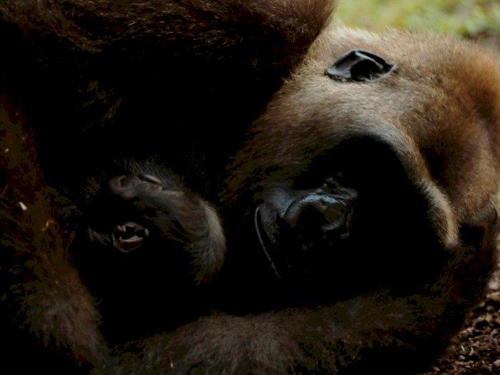FOTO: Mengenal Bayi Gorila Imut Berumur Lima Hari di Kebun Binatang Spanyol