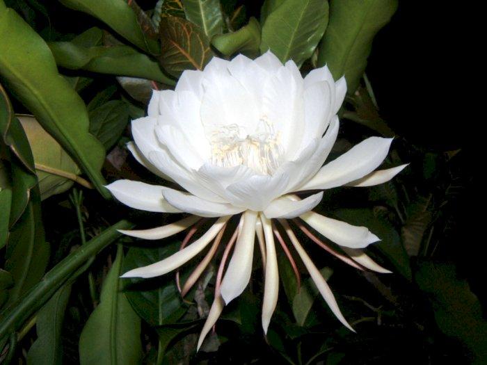 Bunga Kadapul, Bunga Termahal di Dunia dengan Siklus Hidup Tragis