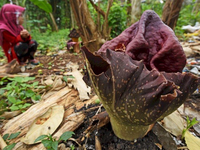 FOTO: Bunga Bangkai Mekar di Kebun Warga