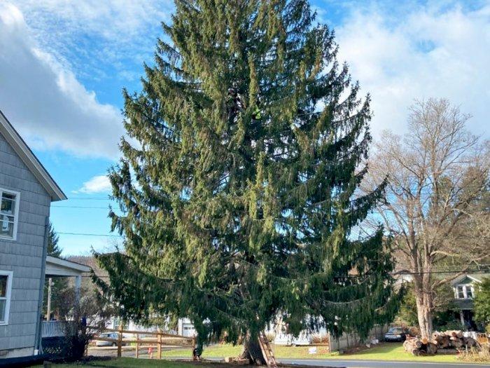 Pohon Natal Rockefeller Center, Tradisi Ikonik New York, Tahun Ini Seberat 11 Ton