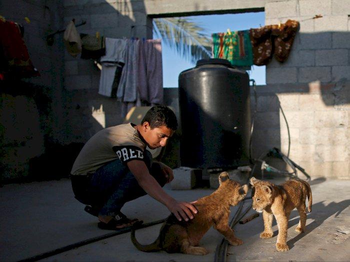 Viral! Pembuat Roti di Palestina Pelihara Dua Anak Singa di Apartemen
