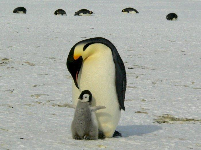 Ini Dia Alasan Mengapa Penguin Suka Bertelur di Musim Dingin di Antartika
