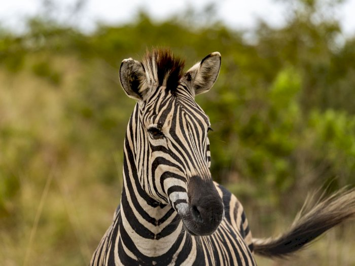 Ini Alasan Mengapa Zebra Tidak Dapat Ditunggangi Seperti Kuda