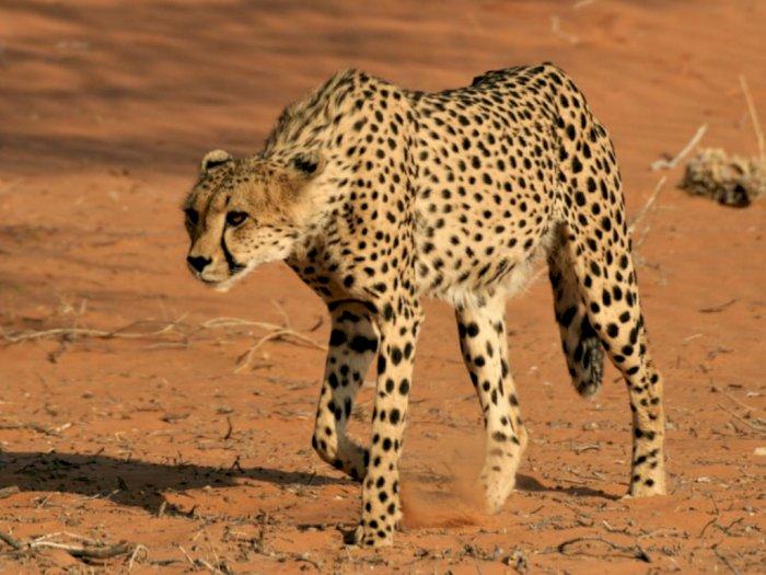 Fakta Menarik Cheetah, Hewan Darat Tercepat di Dunia