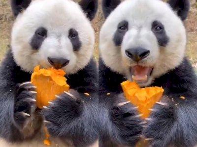 Video Saat Panda Raksasa yang Makan Buah, Bikin Netize Gemas