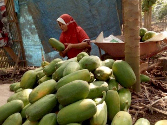 Untung Menggiurkan, Petani di Tapanuli Selatan Beralih ke Budidaya Pepaya