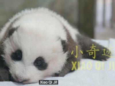 Bayi Panda yang Lahir di Kebun Binatang Smithsonian AS Sudah Diberi Nama, Penuh Makna!