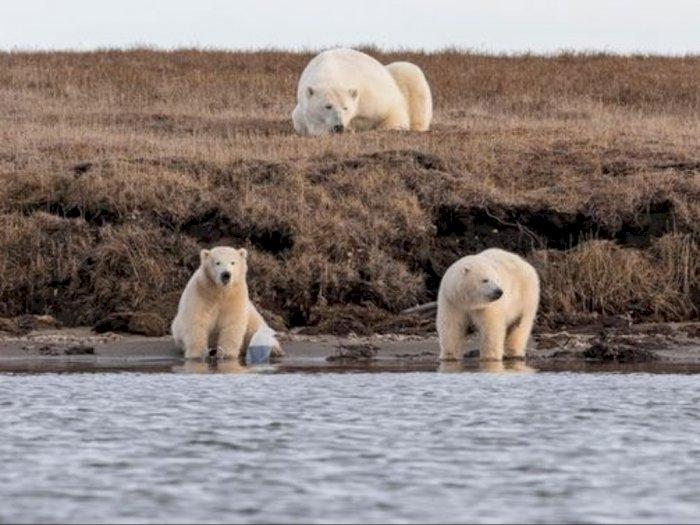 Foto-foto Memilukan Beruang Kutub Memperebutkan Sampah Plastik