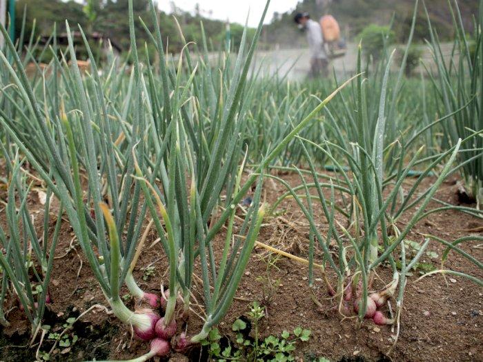 FOTO: Antisipasi Penyakit Pada Bawang Merah Saat Musim Hujan