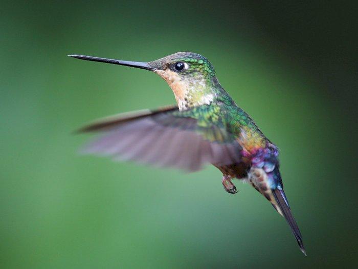 FOTO: Melihat Berbagai Macam Burung Kolibri di Kota Bogota
