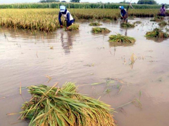 Ribuan Hektare Sawah Warga di Sergai Terendam Banjir, Petani Terancam Gagal Panen