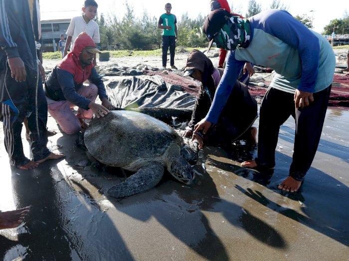 FOTO: Penyelamatan Penyu Hijau di Pantai Gampong Jawa