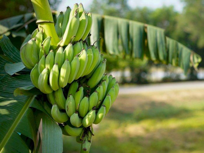 Pohon Pisang Jadi Sumber Bioplastik yang Atasi Polusi Plastik