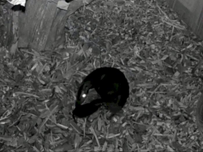 Momen Kelahiran Bayi Kancil Langka di Kebun Binatang Polandia