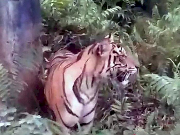 Seekor Harimau Berkeliaran di Permukiman Warga, Bikin Resah