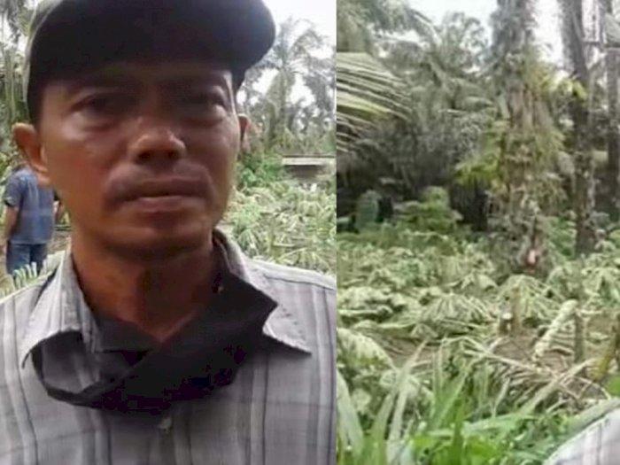 Hendak Dipanen, 650 Pohon Pepaya Milik Pria di Langkat Malah Ditebang Orang Tak Dikenal