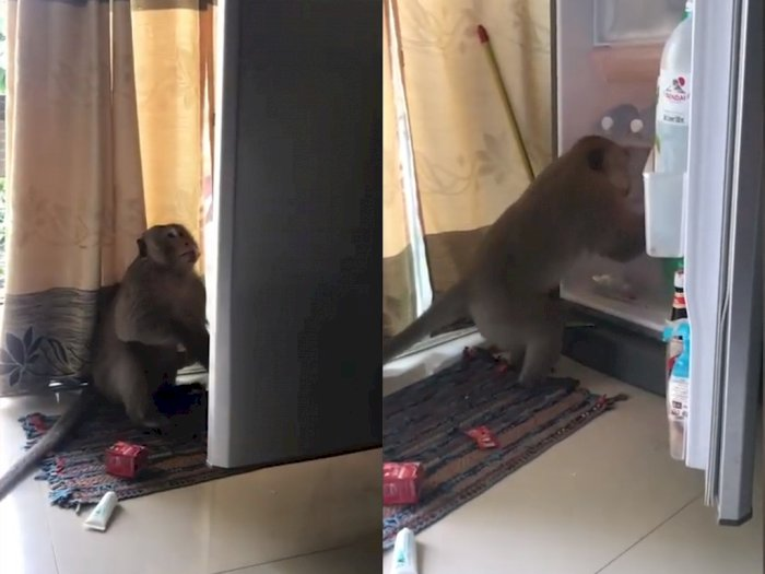 Bikin Gemas! Monyet ini Masuk ke Apartemen demi Curi Jus Jeruk di Kulkas