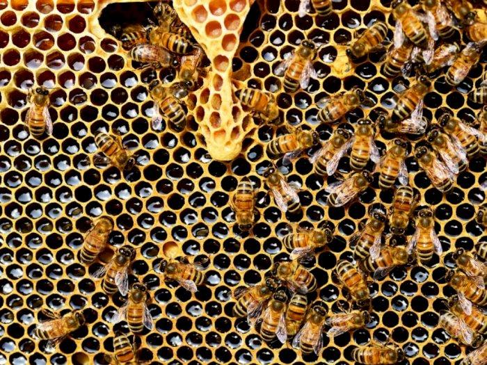 Fakta! Seekor Lebah Butuh Seumur Hidup Hasilkan Satu Sendok Makan Madu