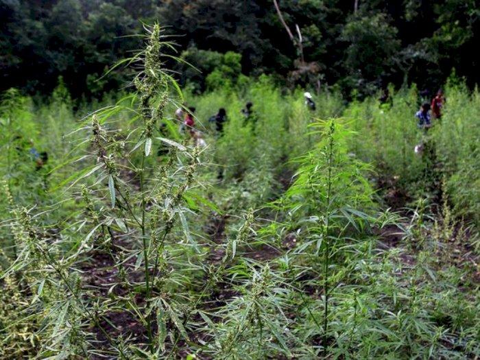 Ladang Ganja 5 Hektare di Panyabungan Timur Musnah Dibakar Petugas Mabes Polri