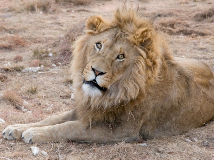 4 Singa di Spanyol Positif Terpapar Covid-19