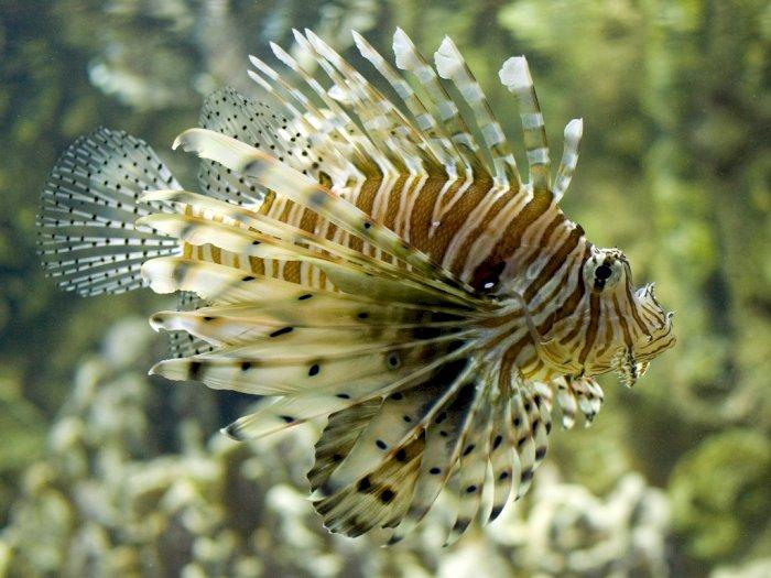 Lionfish, Ikan Fotogenik yang Dicari Tapi Ditakuti