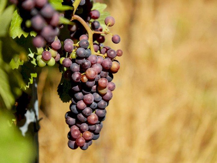 Ekstrak Biji Anggur Dapat Mengurangi Risiko Penyakit Jantung dan Kanker