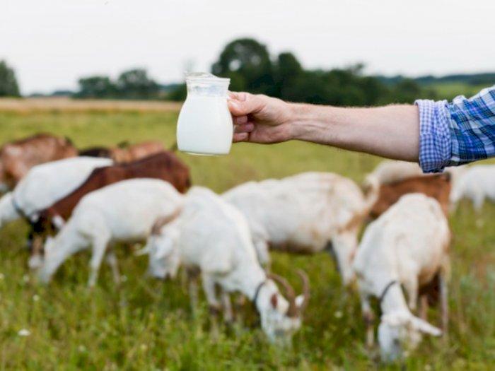 4 Manfaat Kesehatan Mengonsumsi Susu Kambing