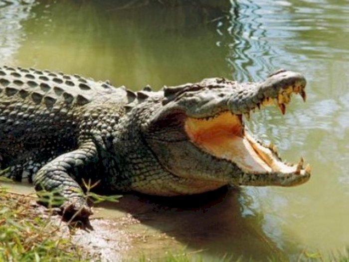 Meresahkan Warga, Seekor Buaya di Sungai Pematangserai Berhasil Ditangkap, Umpannya Ayam