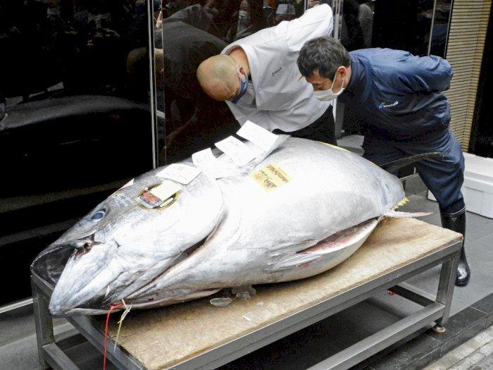 Tuna Sirip Biru Laku Rp 2,7 Miliar Dalam Lelang Pertama Tahun Baru Pasar Ikan Tokyo