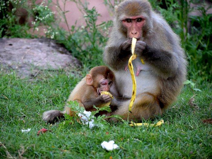 Monyet-monyet Ini Mencuri ke Rumah Warga untuk Mendapatkan Makanan karena Pandemi Covid-19