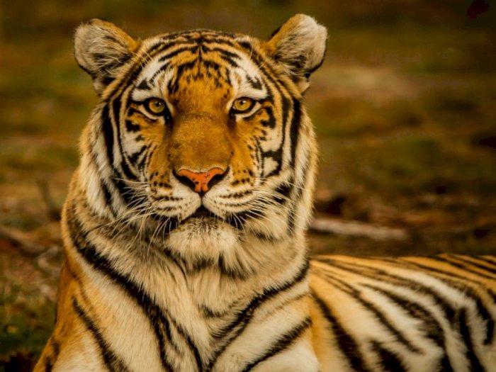 Harimau Memangsa Lima Ekor Sapi Milik Gembala di Areal Kebun Sawit Langkat