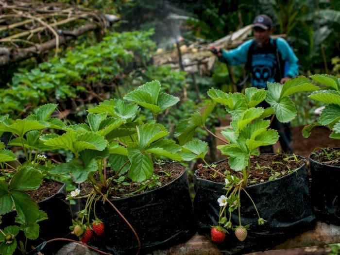 FOTO: Pengembangan Kebun Strawberry Cibeber