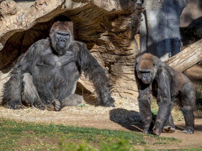 Awalnya Batuk dan Sesak Napas, 2 Ekor Gorila di Kebun Binatang San Diego Positif Covid-19