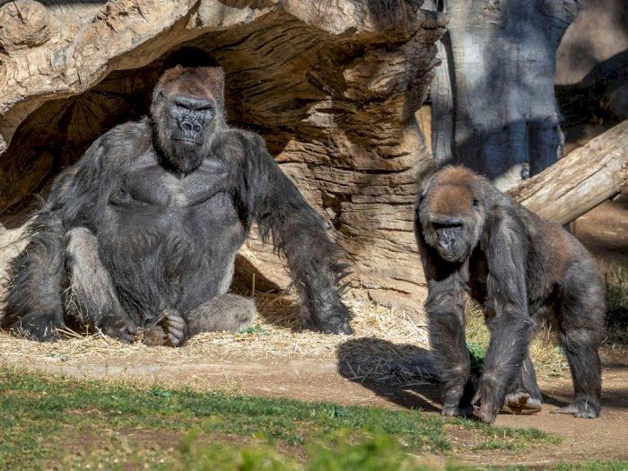 Waduh! Ada Dua Ekor Gorila di Amerika Serikat yang Dinyatakan Terinfeksi Covid-19