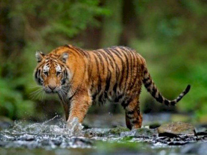 Harimau Sumatra Masih Menganggu Ternak di Aceh Timur, Sudah Ada yang Jadi Mangsa