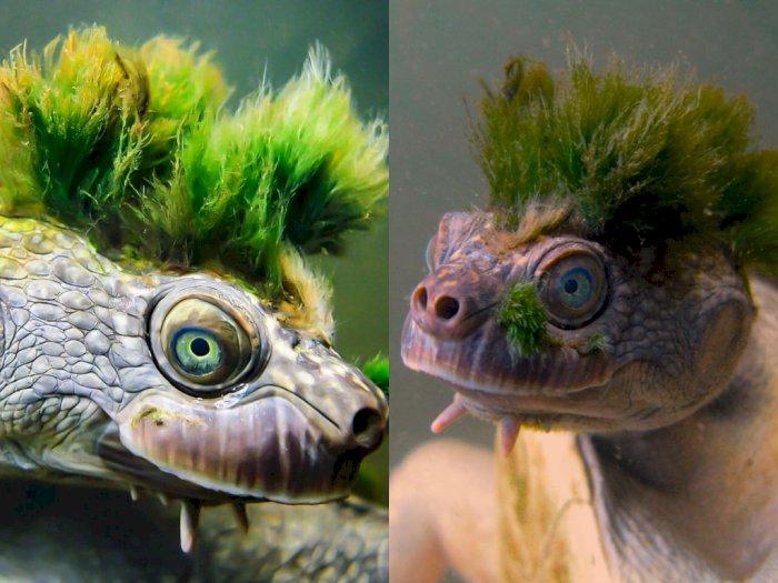 Mengenal Mary River Turtle, 'Kura-kura Punk' yang Terancam Punah