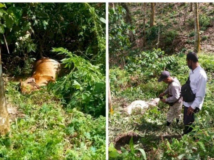 Harimau Kembali Ancam Ternak Warga Bahorok, Sepasang Lembu Tewas Mengenaskan