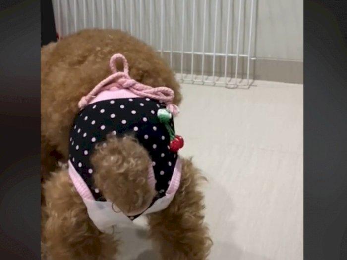 Viral Tutorial Pemakaian Pembalut untuk Anjing yang Haid, Netizen: Baru Tau Anjing Mens