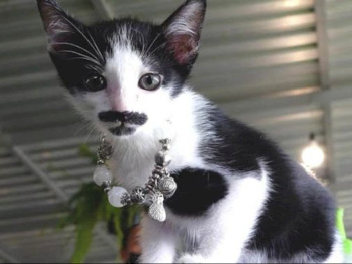 Lucu! Kucing Ini Punya Kumis dan Jenggot yang Menggemaskan