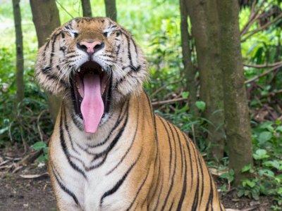 Harimau Ternyata Memiliki Lidah Yang Sangat Mengerikan