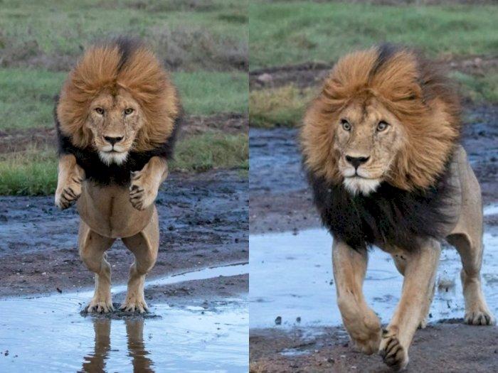 Potret Singa yang Tertangkap Kamera saat Melompati Sungai di Taman Nasional Serengeti