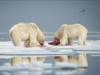Momen Luar Biasa Beruang Kutub Memperebutkan Mangsa Berhasil Ditangkap Oleh Fotografer