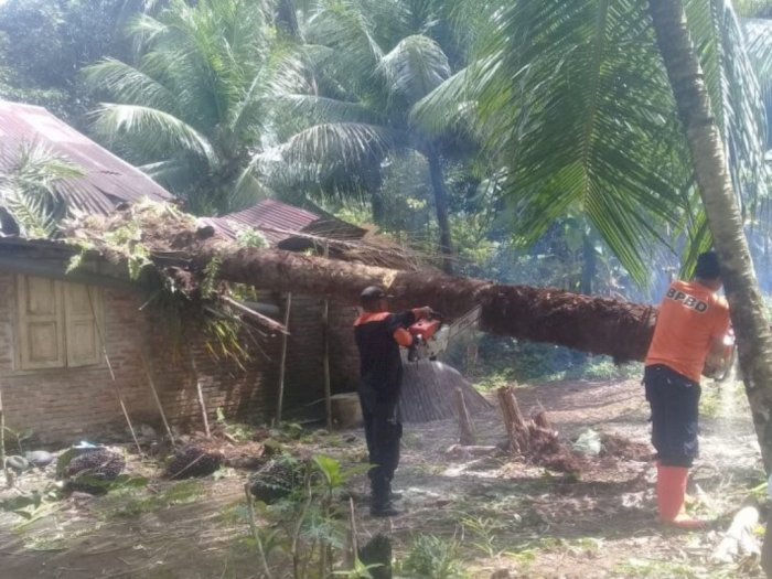 Pohon Tua Timpa Rumah Warga di Cacang Tinggi Hingga Rusak, Beruntung tak Ada Korban Jiwa