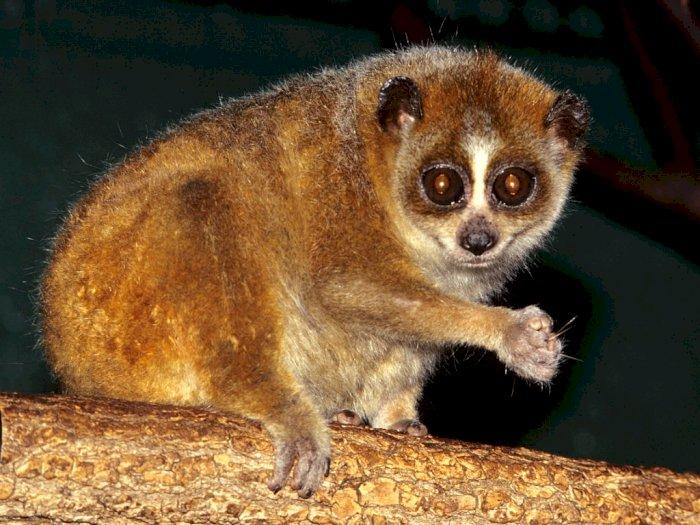 Hari Primata Nasional, 2 Musang Pandan dan 4 Kukang Tinggal di Hutan Konservasi Bangka