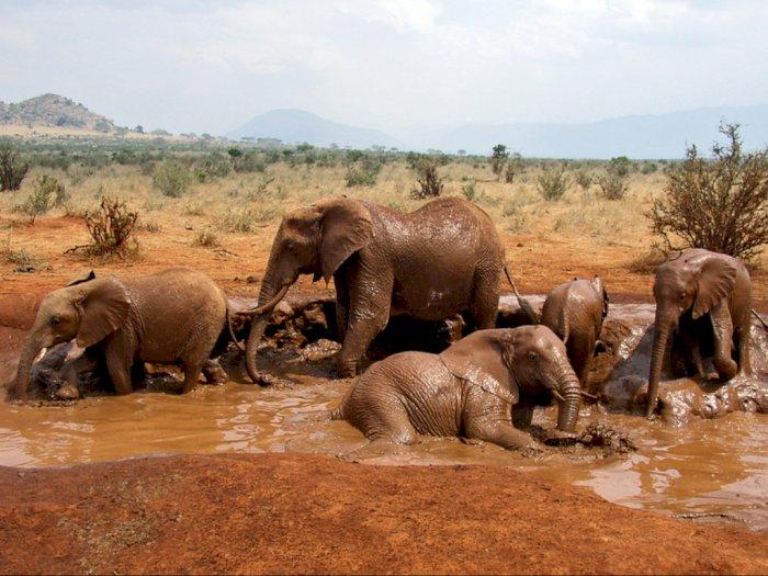 Per 2040, Gajah Afrika akan Punah Gegra Faktor-faktor Ini!